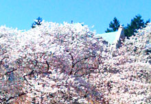 blossoms in the quad
